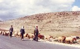 02 Palestinian shepherds in the West Bank, near Bethlehem